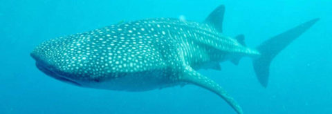 Afro Whale Shark Safari