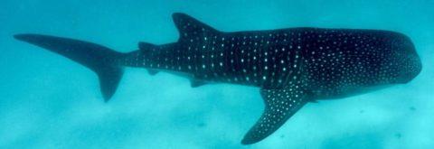Afro Whale Shark Safari